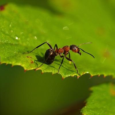 desinsectisation fourmis Villefranche-sur-mer 06230